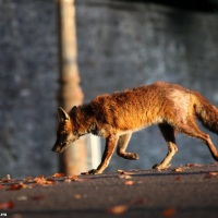 Comment vivre avec le renard à Bruxelles ? #Bruxelles #environnement #chasse #zoologie