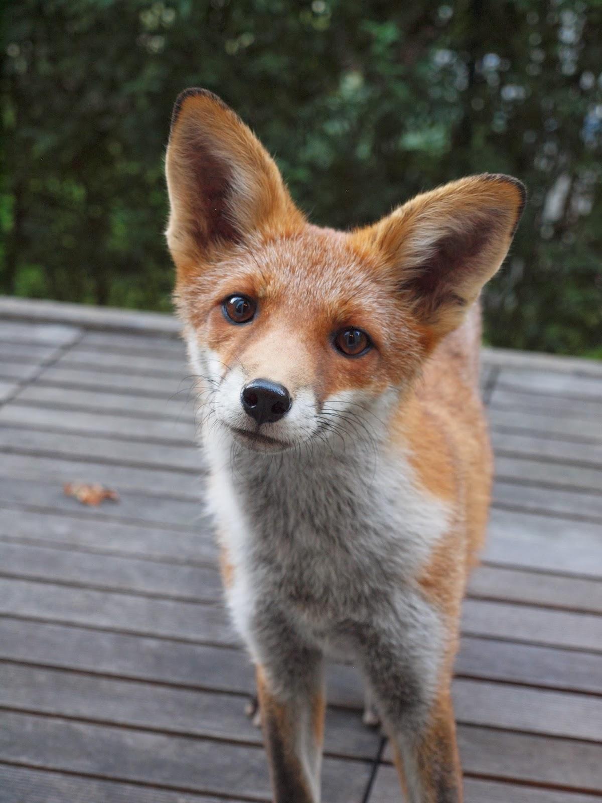 comment vivre avec le renard bruxelles bruxelles environnement chasse zoologie. Black Bedroom Furniture Sets. Home Design Ideas