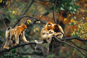 aa-chine-singes