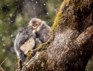 Yunnan Snub-nosed monkey in first-snow, also known as the black snub-nosed monkey, photographed at Tacheng Snub-Nosed Monkey National Park, China. These monkeys are listed as EN in the IUCN RedList and endemic to the region. With the effort of the National Park their numbers are more stable than the previous years. After filming these monkeys for almost a year, I managed to get a photograph at the morning of the first snow this year in December. These females huddles together to keep warm as the temperature drops, saving energy for the cold and hard times ahead. Canon 5DMarkIII, 500mm f4 @ f5.6, 1/250th, ISO500, tripod